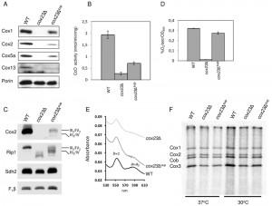 Figure 2 Cox1 suppressor of cox23 mutant