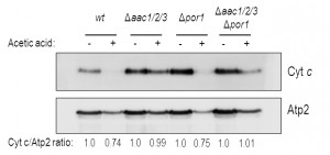 Figure 3 VDAC regulates AAC-mediated apoptosis