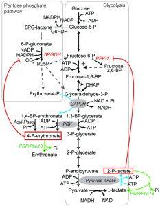 figure-1-glycolytic-side-product-elimination