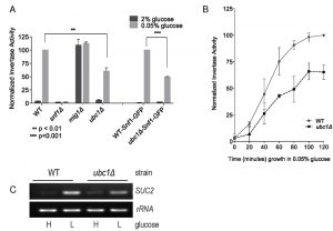 figure-1-snf1-expression-not-stability-requires-ubc1-e2-activity
