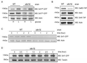 figure-3-snf1-expression-not-stability-requires-ubc1-e2-activity