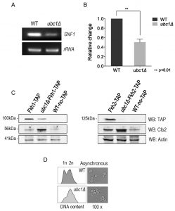 figure-4-snf1-expression-not-stability-requires-ubc1-e2-activity