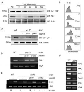 figure-5-snf1-expression-not-stability-requires-ubc1-e2-activity