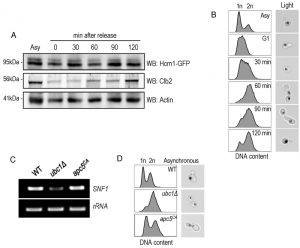 figure-7-snf1-expression-not-stability-requires-ubc1-e2-activity