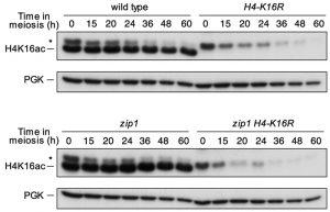 figure-1-meiotic-checkpoint-role-of-h4k16ac-kopie