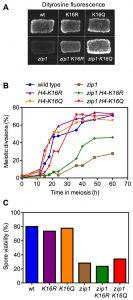 figure-2-meiotic-checkpoint-role-of-h4k16ac-kopie