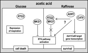 figure-4-mitochondrial-rtg-pathway-and-glucose-repression