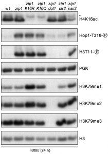 figure-5-meiotic-checkpoint-role-of-h4k16ac-kopie