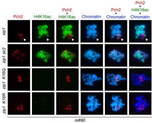 figure-8-meiotic-checkpoint-role-of-h4k16ac-kopie