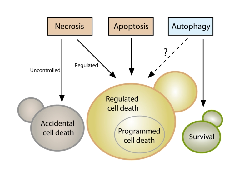 Guidelines and recommendations on yeast cell death nomenclature