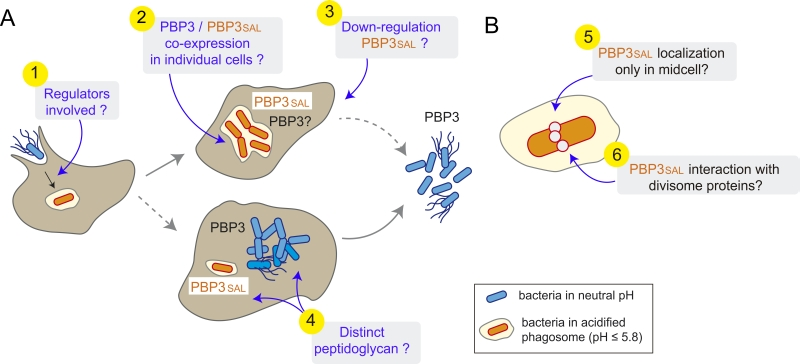 Figure 1 Two Pbps Promoting Salmonella Cell Division