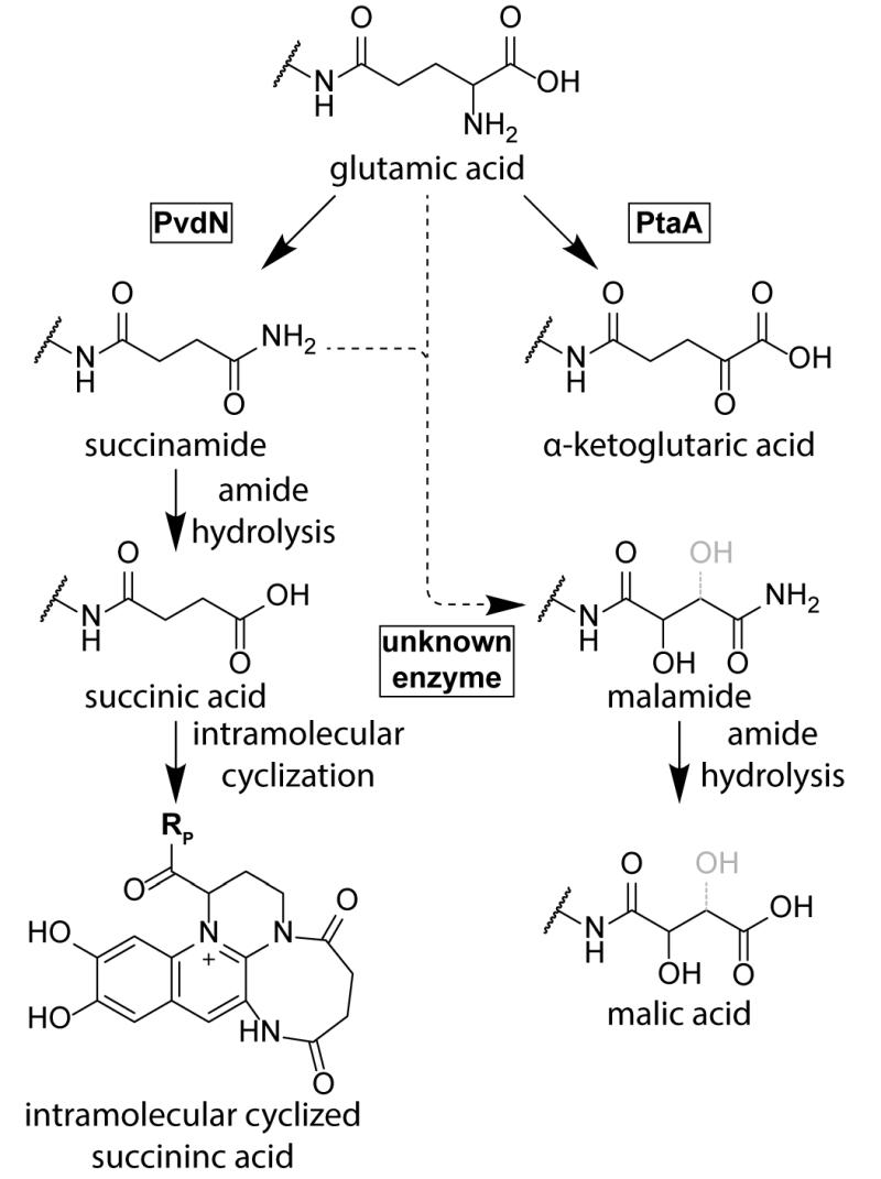 The biosynthesis of pyoverdines