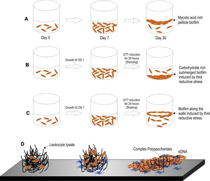 The extracellular matrix of mycobacterial biofilms: could we