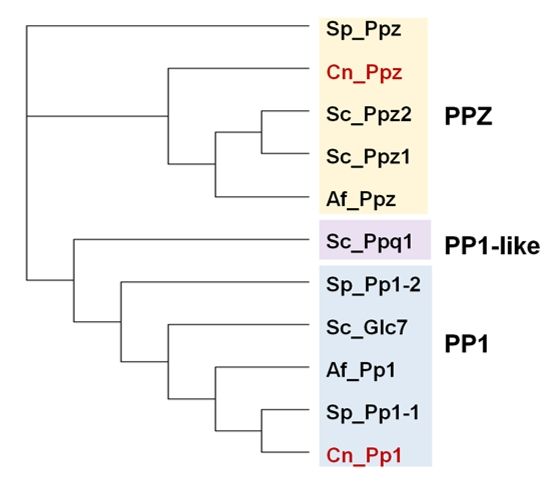 Ser/Thr protein phosphatases in fungi: structure, regulation