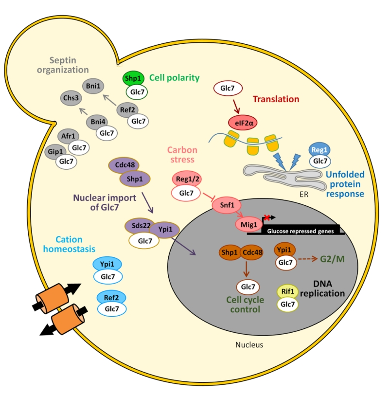 Ser/Thr protein phosphatases in fungi: structure, regulation and