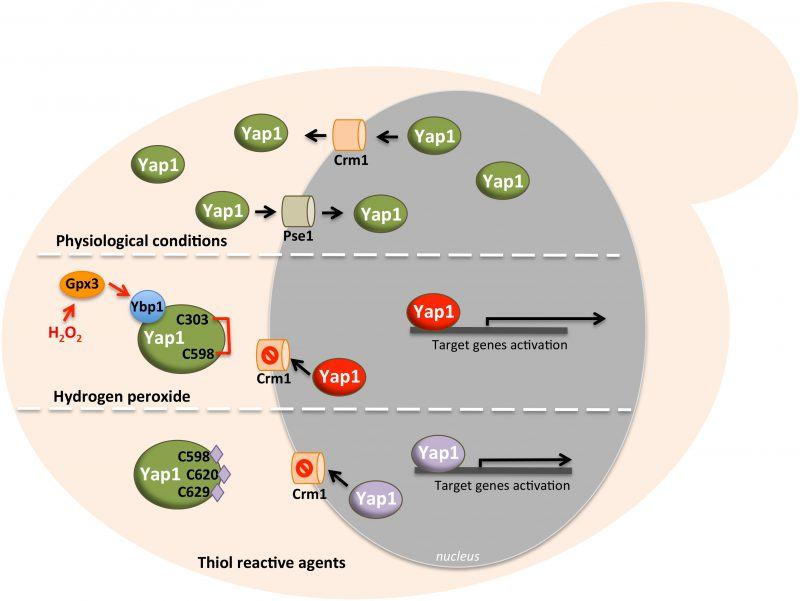 Yeast AP-1 like transcription factors (Yap) and stress ... on