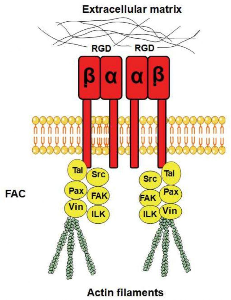 Integrins in disguise – mechanosensors in Saccharomyces ... on